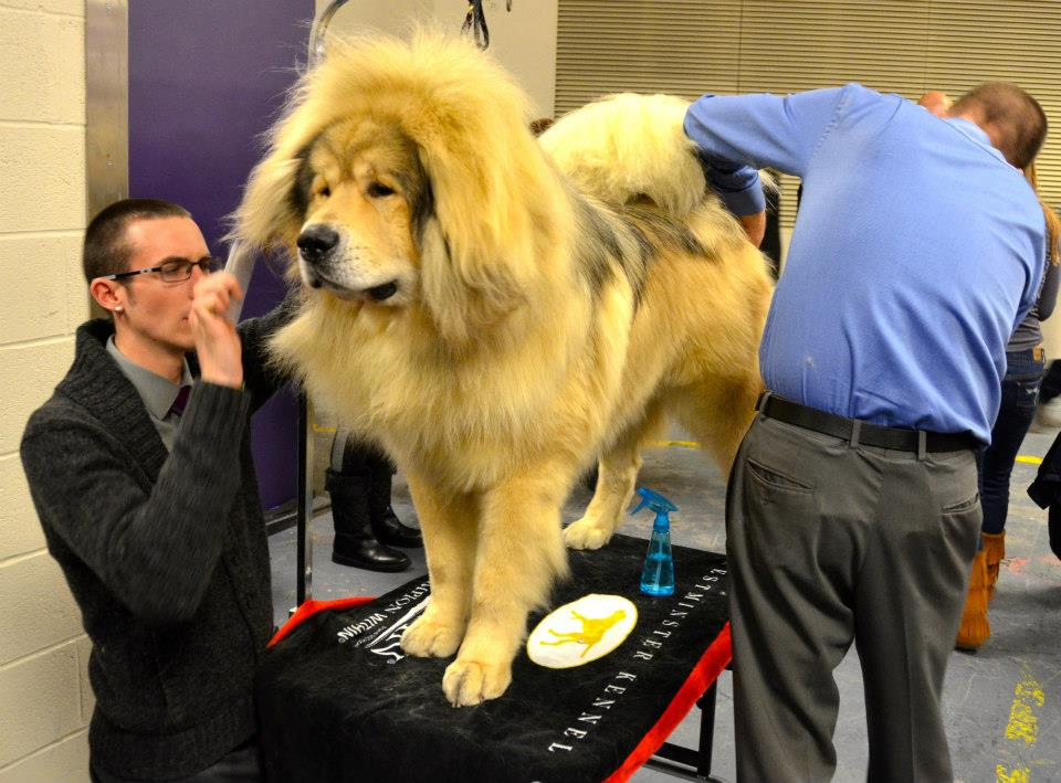 File:Tibetan Mastiff at show 2.jpg - Wikimedia Commons
