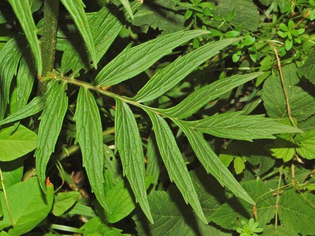 Valerianaceae - Valeriana officinalis-2 (8303609031)