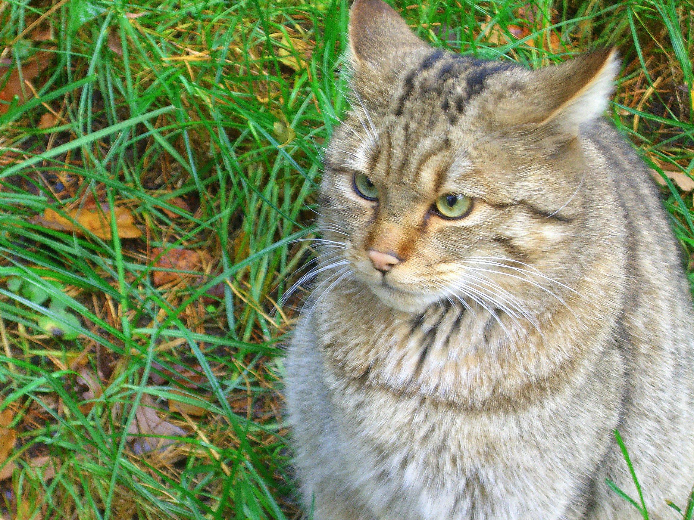 Wildkatze Mischling