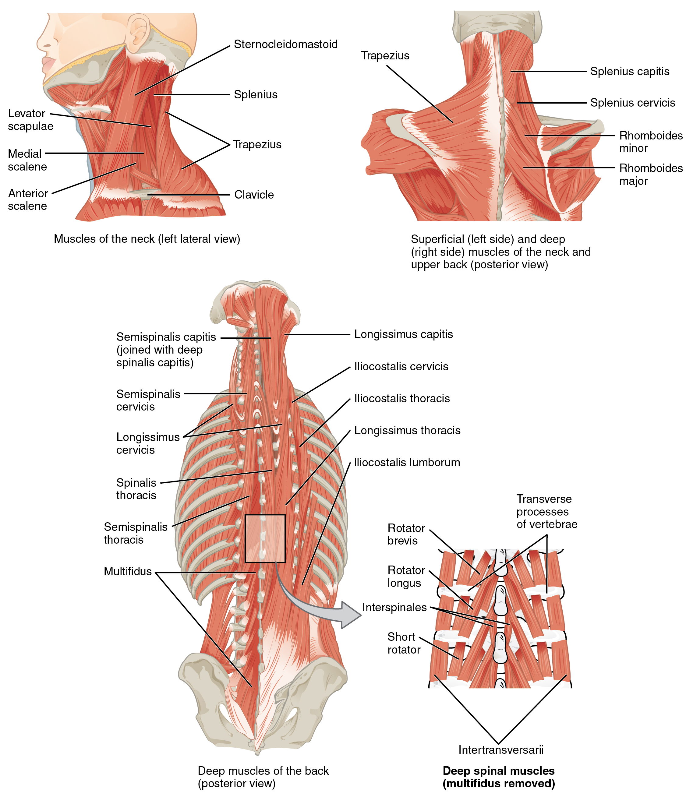 Low Back Pain: A Guide for Coaches and Athletes on Anatomy, Types ...
