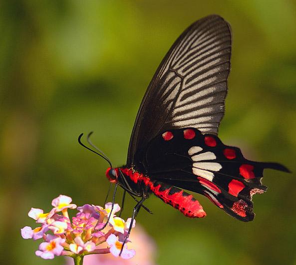 Pachliopta aristolochiae - Wikipedia