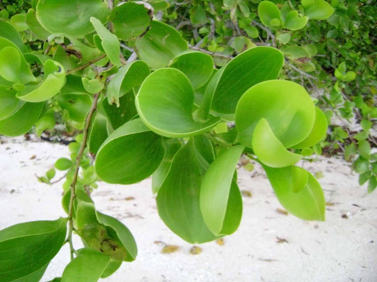 Acacia simplex - Wikipedia