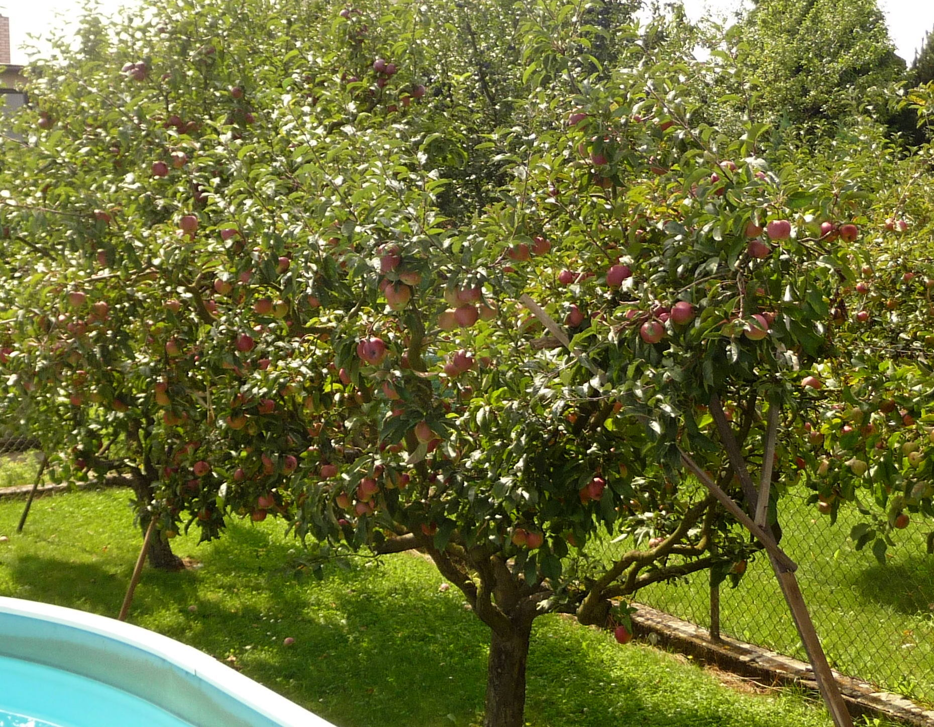 File:Apple tree, Fryšták (3).jpg - Wikimedia Commons