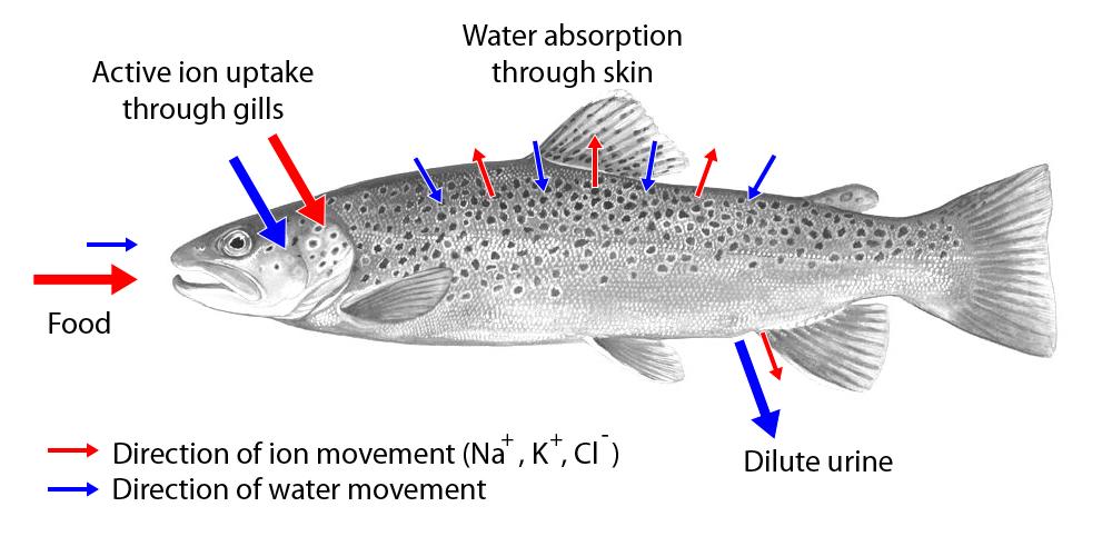 File bachforelle osmoregulatoin bw wikimedia commons for Freshwater fish parasite identification