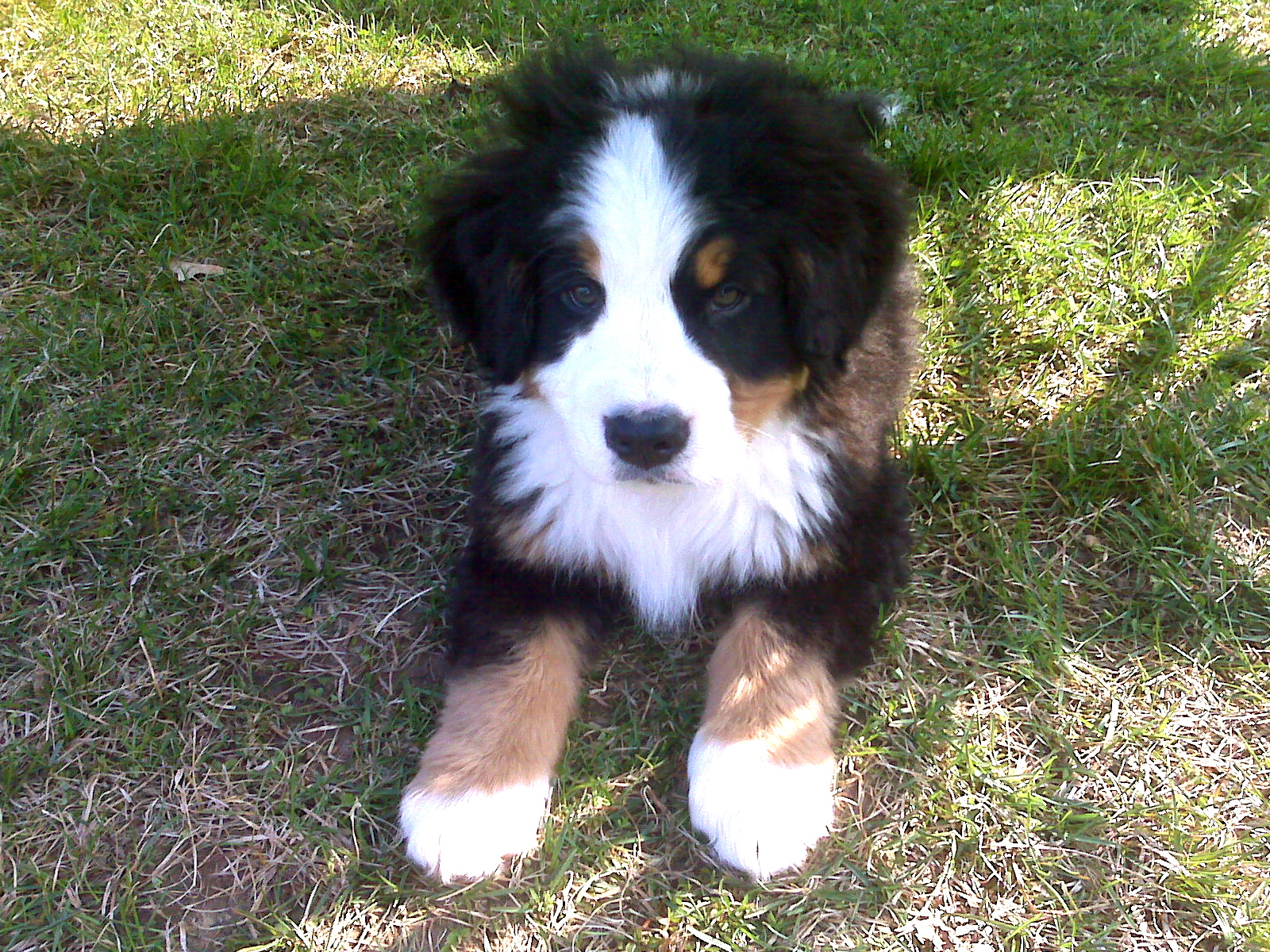 Bernese Mountain Dog Puppies For Sale In Md