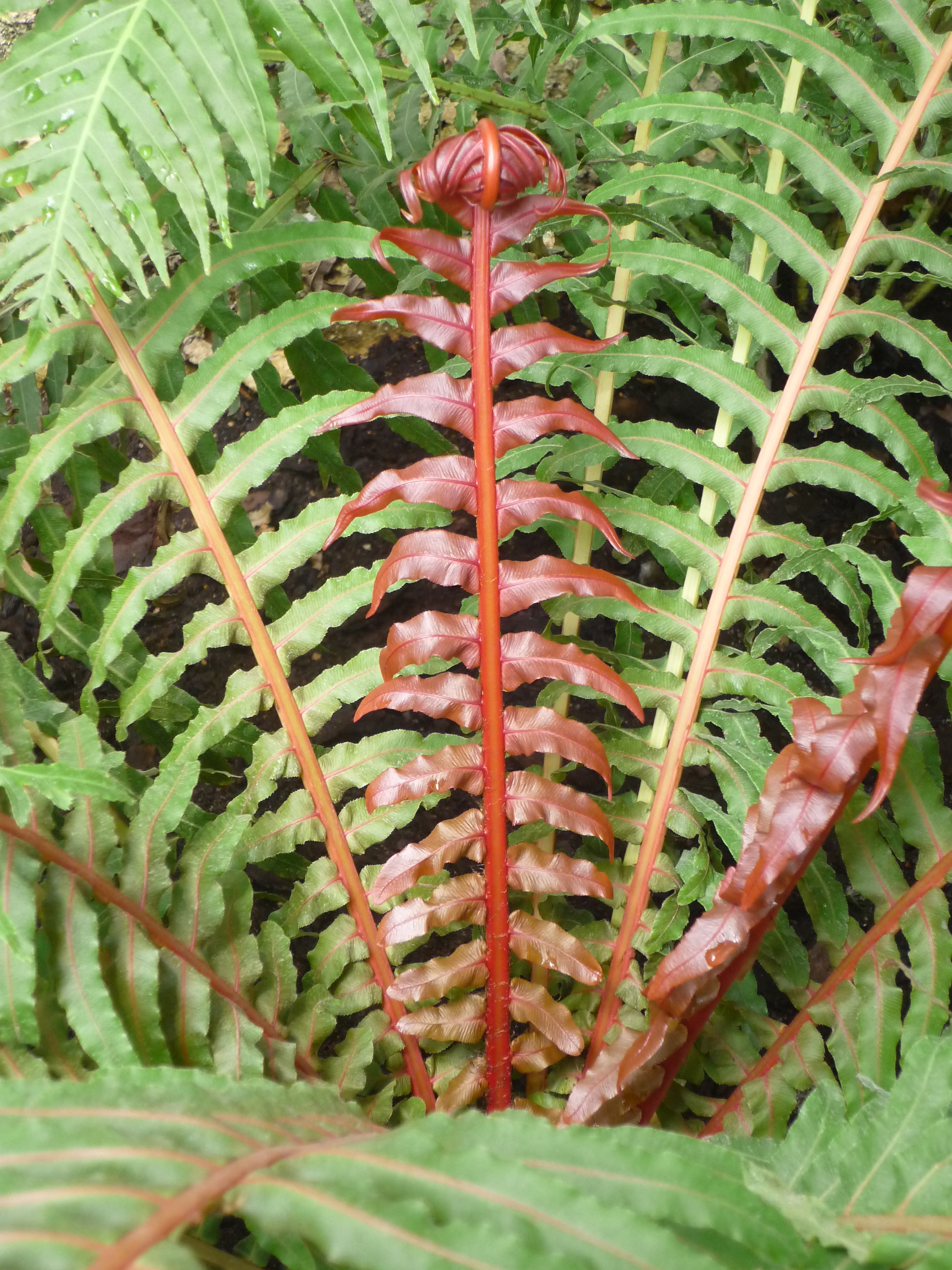 File Blechnum moorei in Jardin des plantes Paris 2 Wikimedia