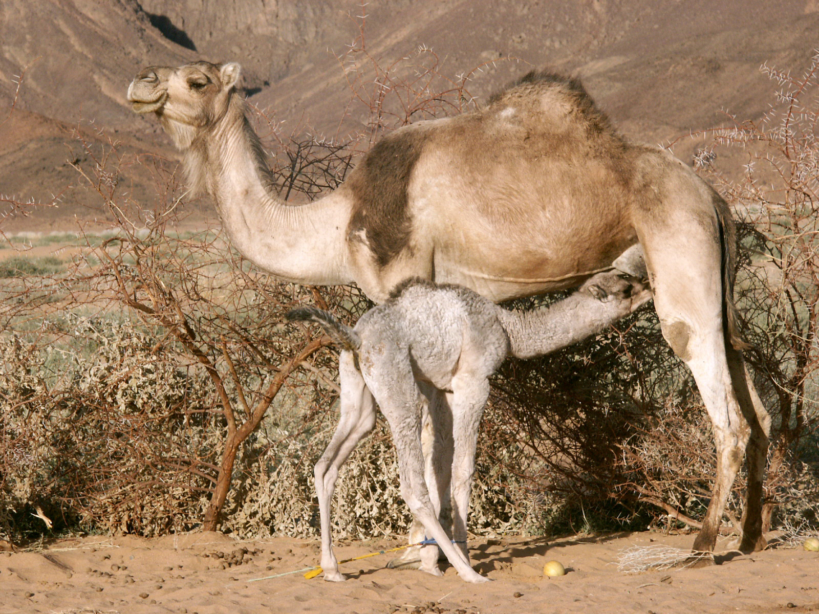 http://upload.wikimedia.org/wikipedia/commons/9/9e/Camelcalf-feeding.jpg