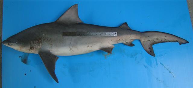 Carcharhinus amboinensis ranong.jpg