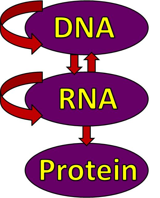 Central Dogma