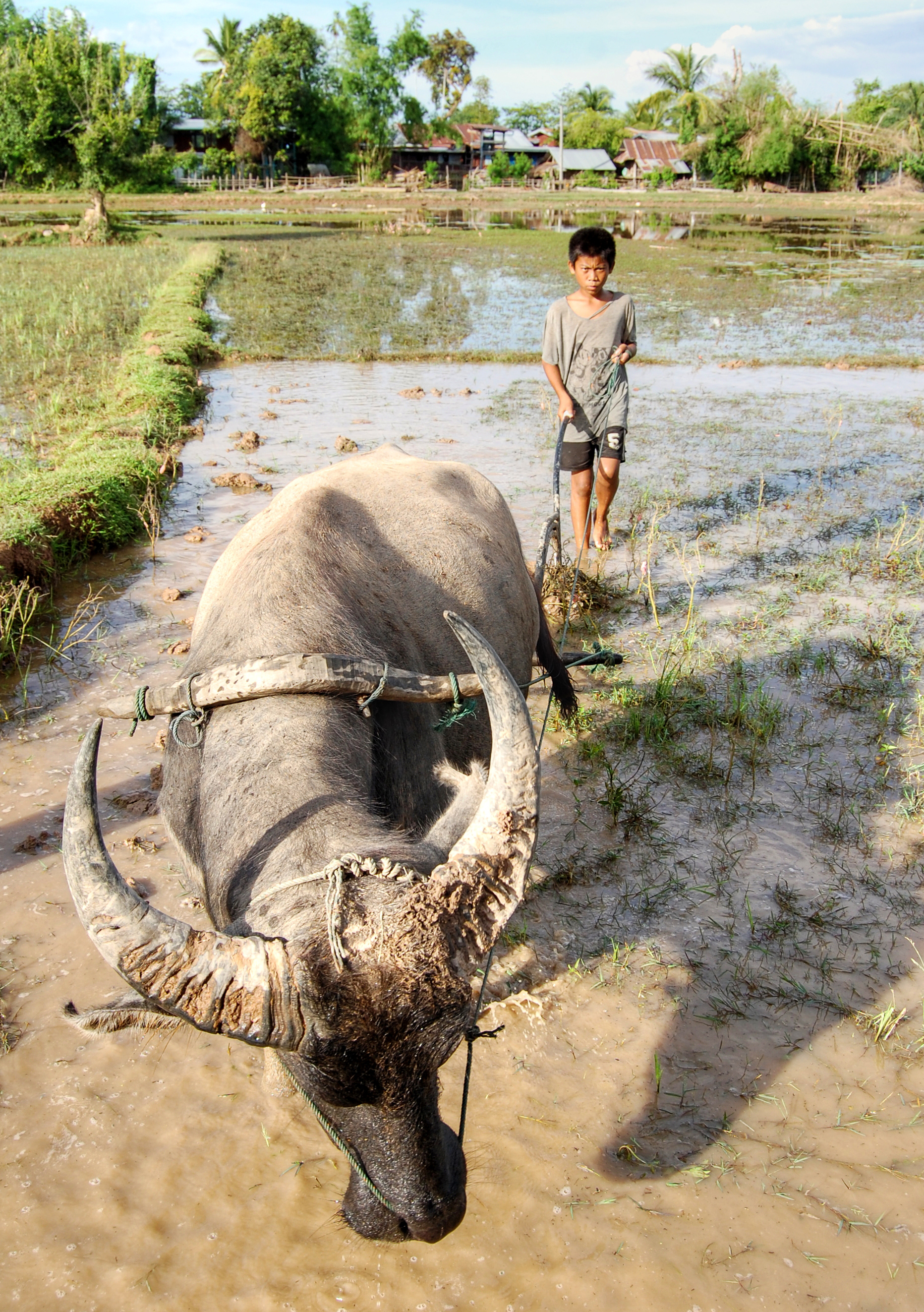 File:Child and ox ploughing, Laos (2).jpg - Wikimedia Commons