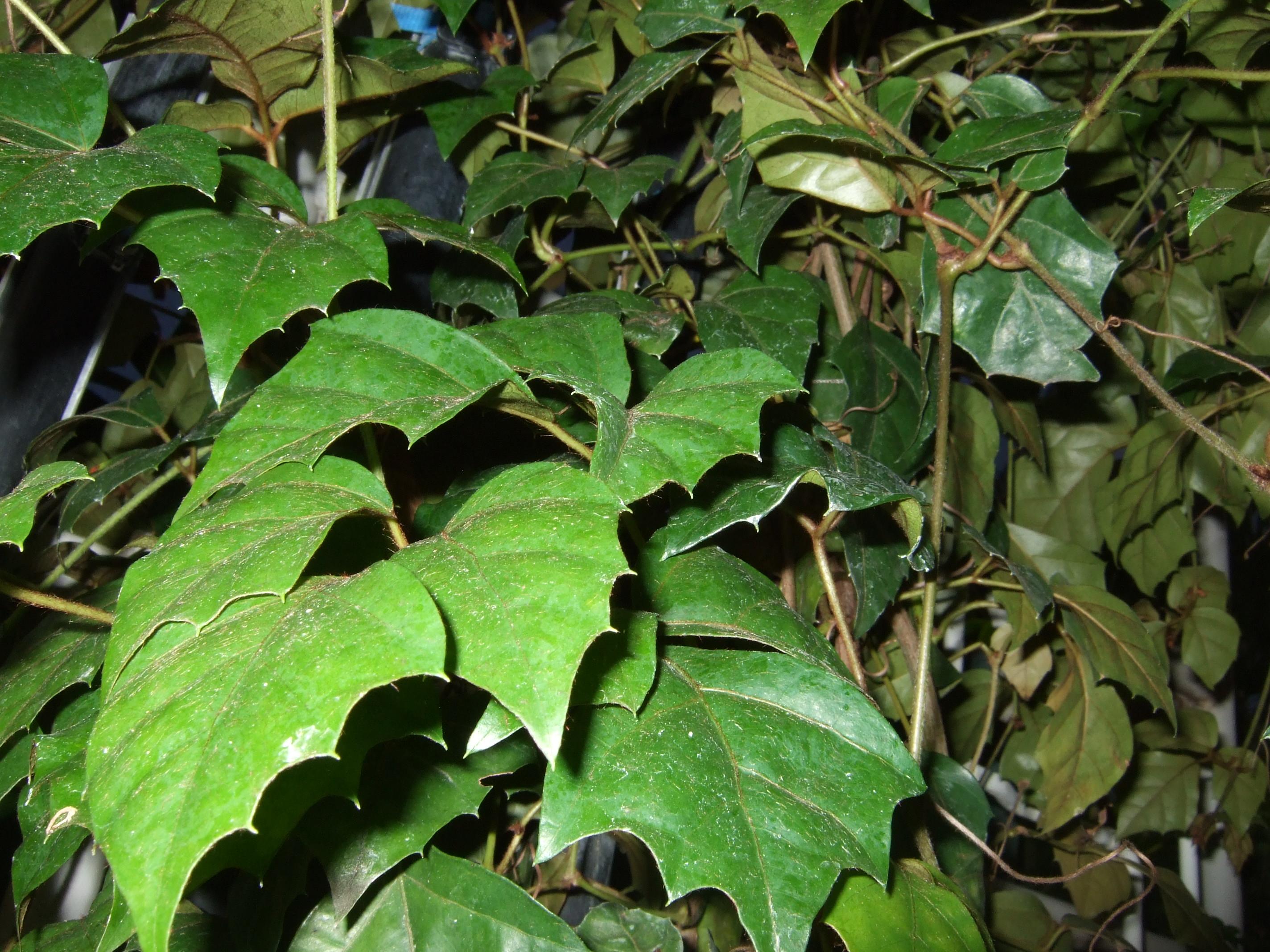 Cissus Rombolistny Wikipedia Wolna Encyklopedia
