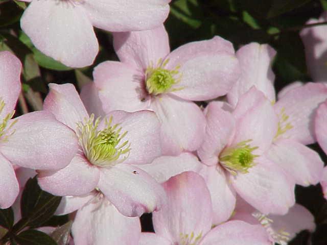 Fichier:Clematis montana rubens1.jpg