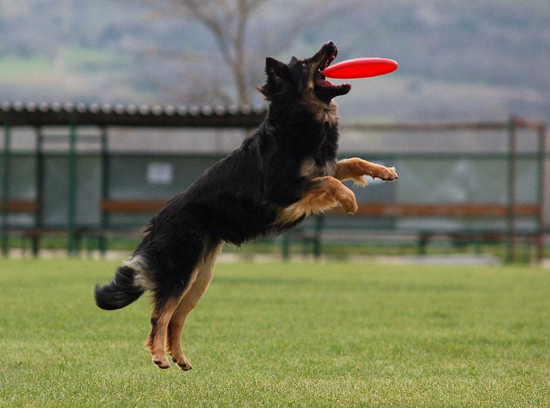 File:Dogfrisbee.jpg - Wikimedia Commons