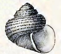 Ethminolia doriae 001.jpg