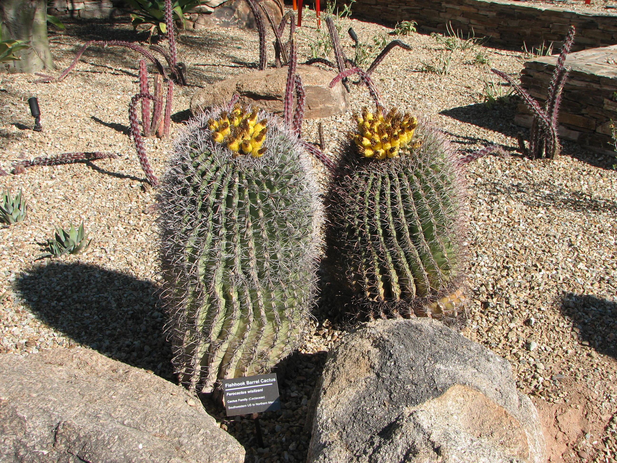 Fichier:Fishhook Barrel Cactus.jpg — Wikipédia