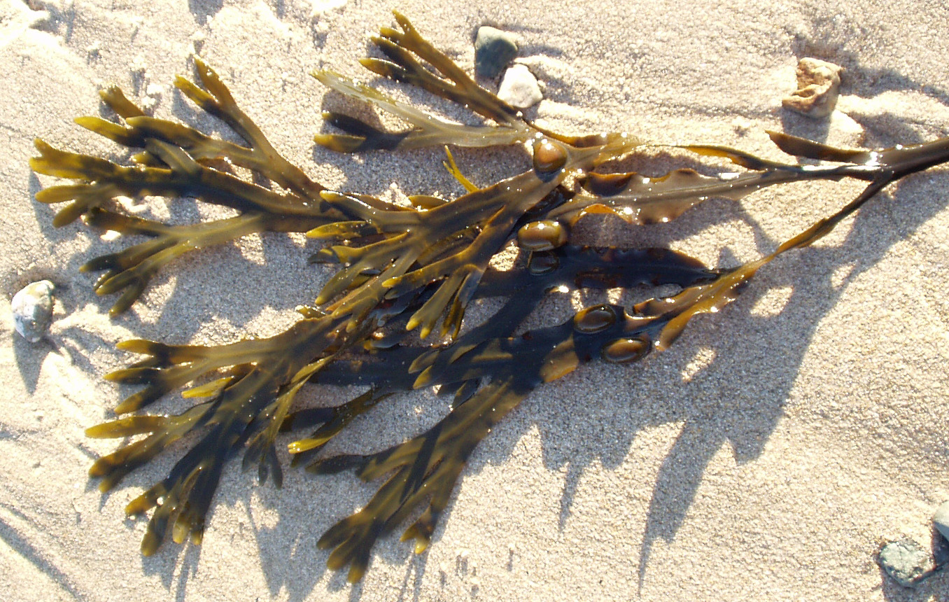File:Fucus vesiculosus Wales.jpg - Wikipedia, the free encyclopedia