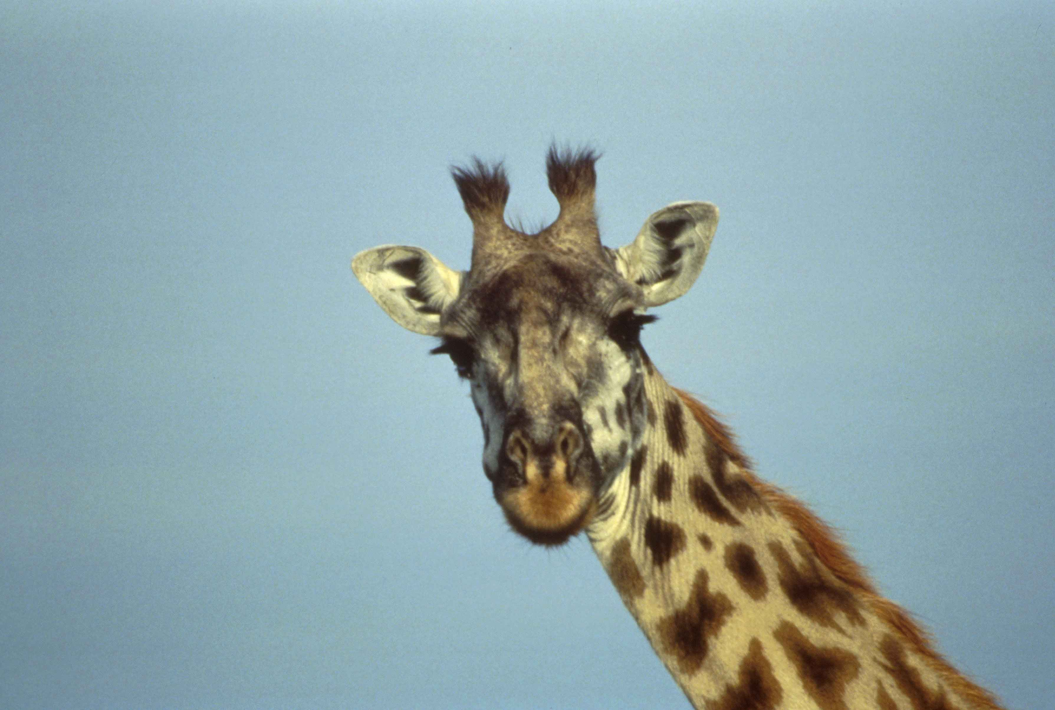 Giraffe head close up - photo#5