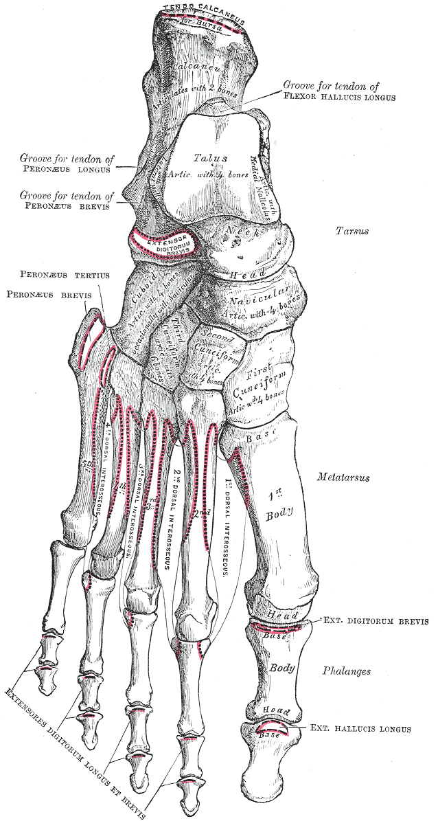 Metatarsophalangeal joints - Wikipedia