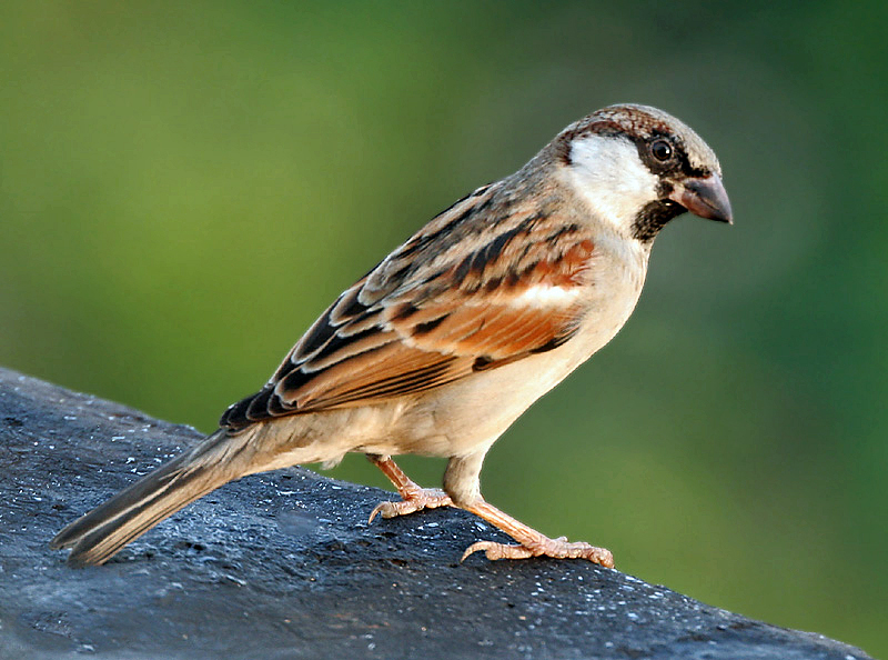 File House Sparrow  M ...
