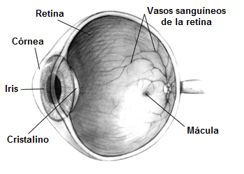 Estructura del ojo, ojo sano