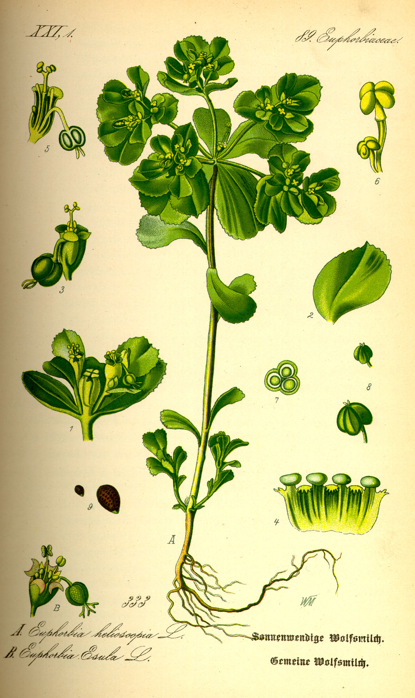 Illustration Euphorbia helioscopia0.jpg