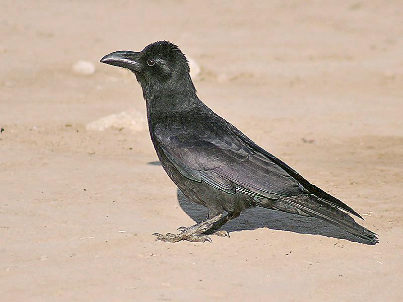 Indian Jungle Crow Wikipedia