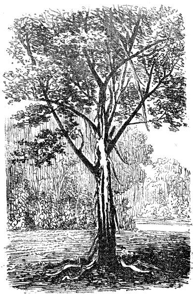 File la nature 1873 arbre foudroy jardin du for Arbres jardin du luxembourg