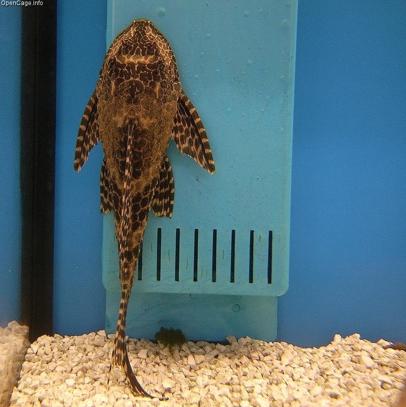 http://upload.wikimedia.org/wikipedia/commons/9/9e/Loricariidae_sp.jpg