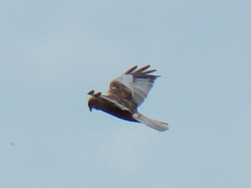 File:Marsh Harrier-Mindaugas Urbonas-8.JPG