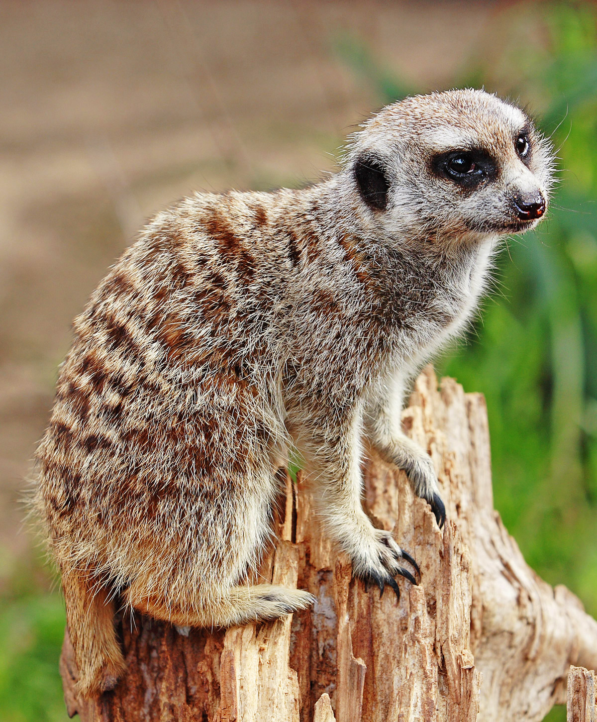 marketing Compare Meerkat
