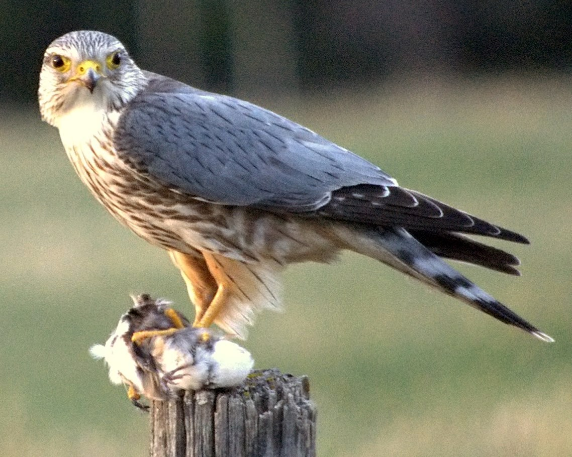 Merlin (bird) - Wikipedia