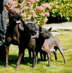 perros sin pelo