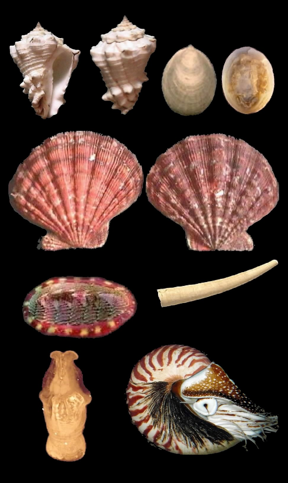 mollusca wiktionary