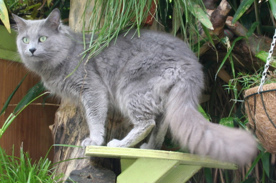 "voting winter contest ""favorite photo"" adult Nebelung_Male%2C_Aleksandr_van_Song_de_Chine"