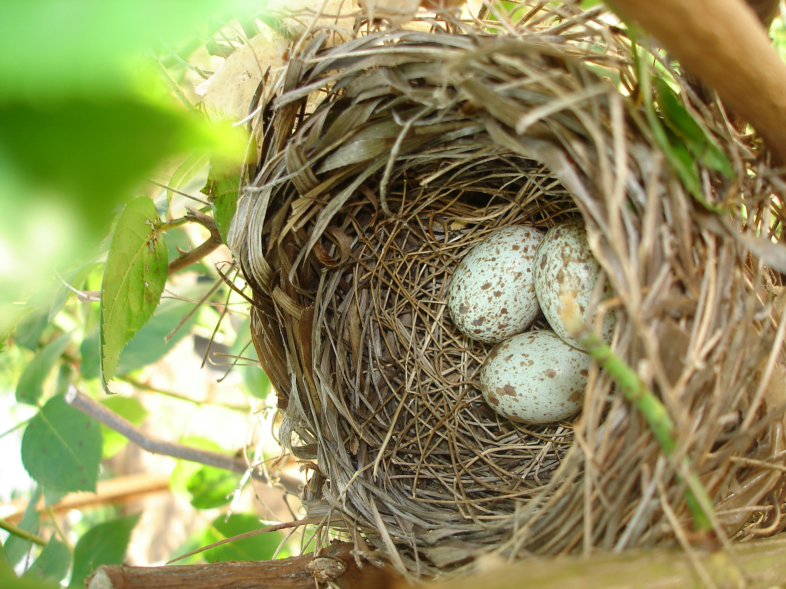 File:Northern Cardinal Eggs in nest.jpg - Wikimedia Commons