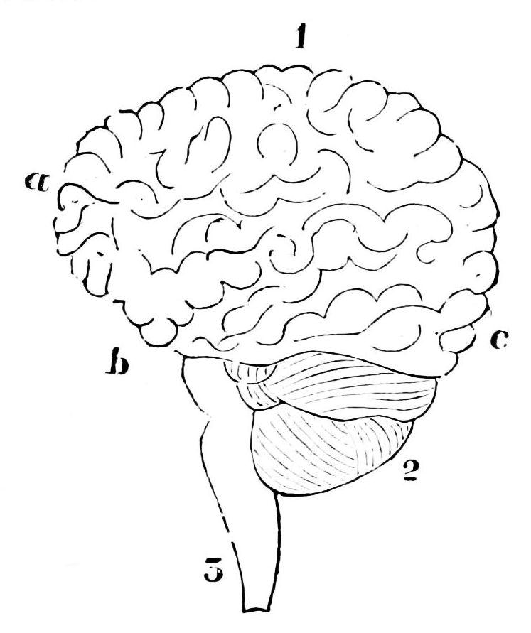 Brain Template Printable File:psm v07 d066 human brain.