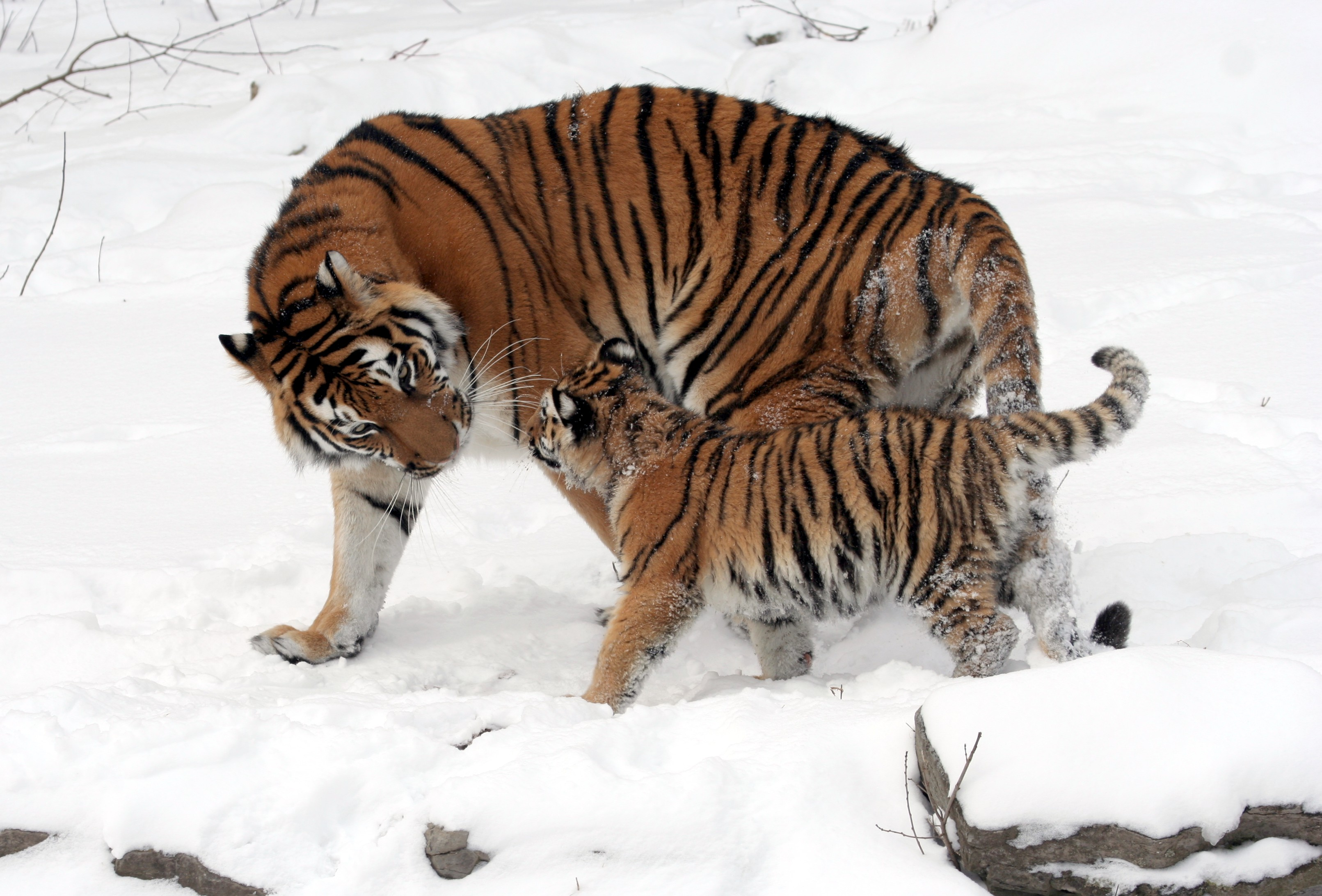 Siberian Tiger Vs Bear Siberian tiger - wikipedia