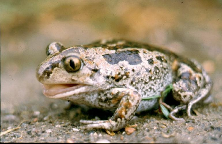 Garlic Toad - Creative Commons Attribution-Share Alike 2.5 Generic // wikipedia: http://bit.ly/OqgzDB