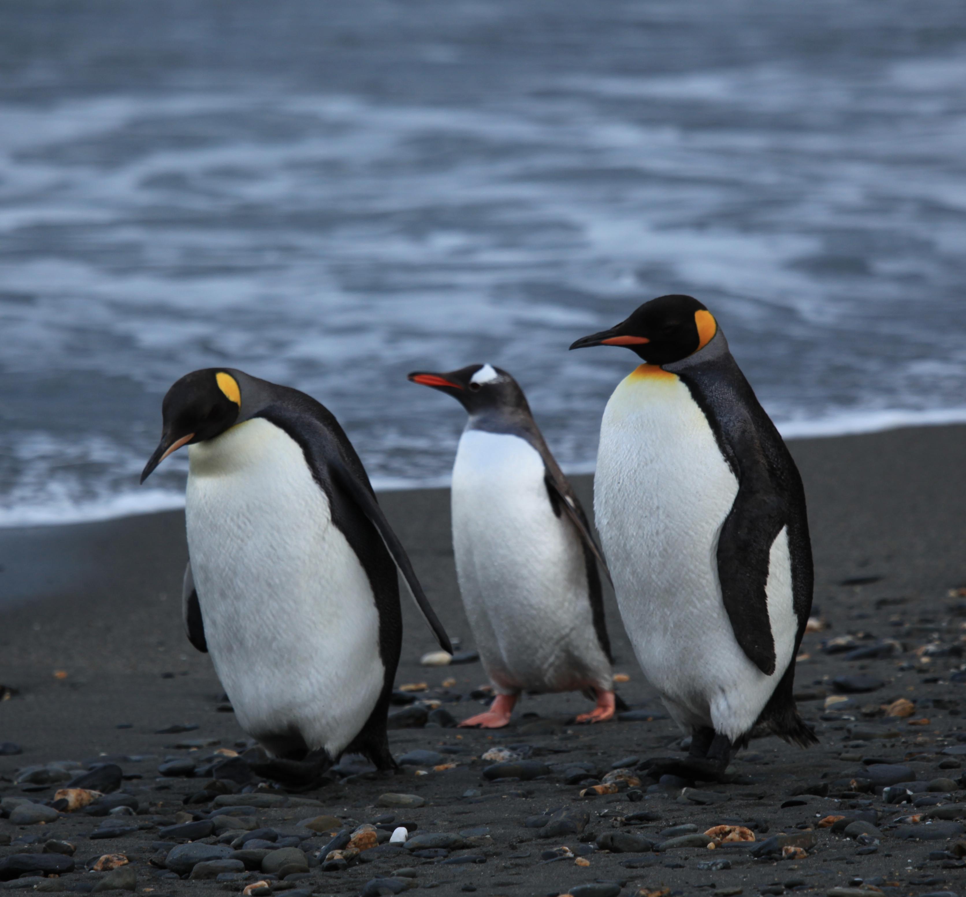 file penguins walking moltke harbour south georgia british