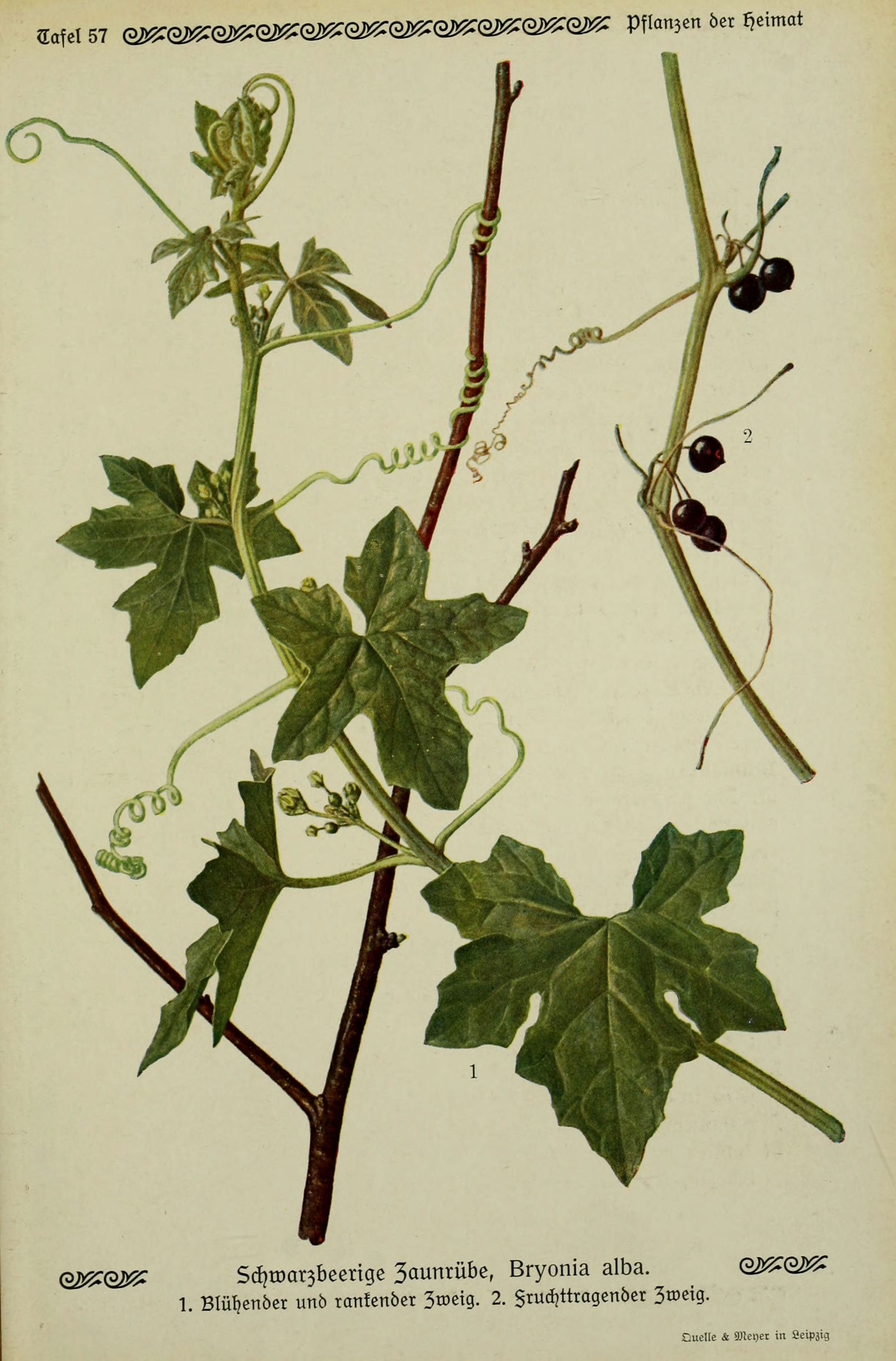 Pflanzen Im September file pflanzen der heimat tafel 57 6099929302 jpg wikimedia commons
