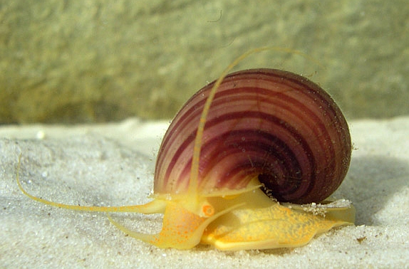 Spike-topped Apple Snail