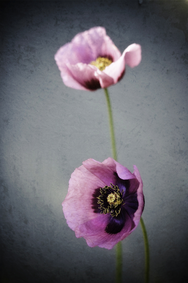 file purple poppies 3953357512 jpg wikimedia commons