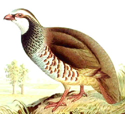Red-legged partridge Redleggedpartridge35.jpg