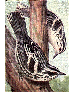 Reed-black-white-warbler.png © Commons