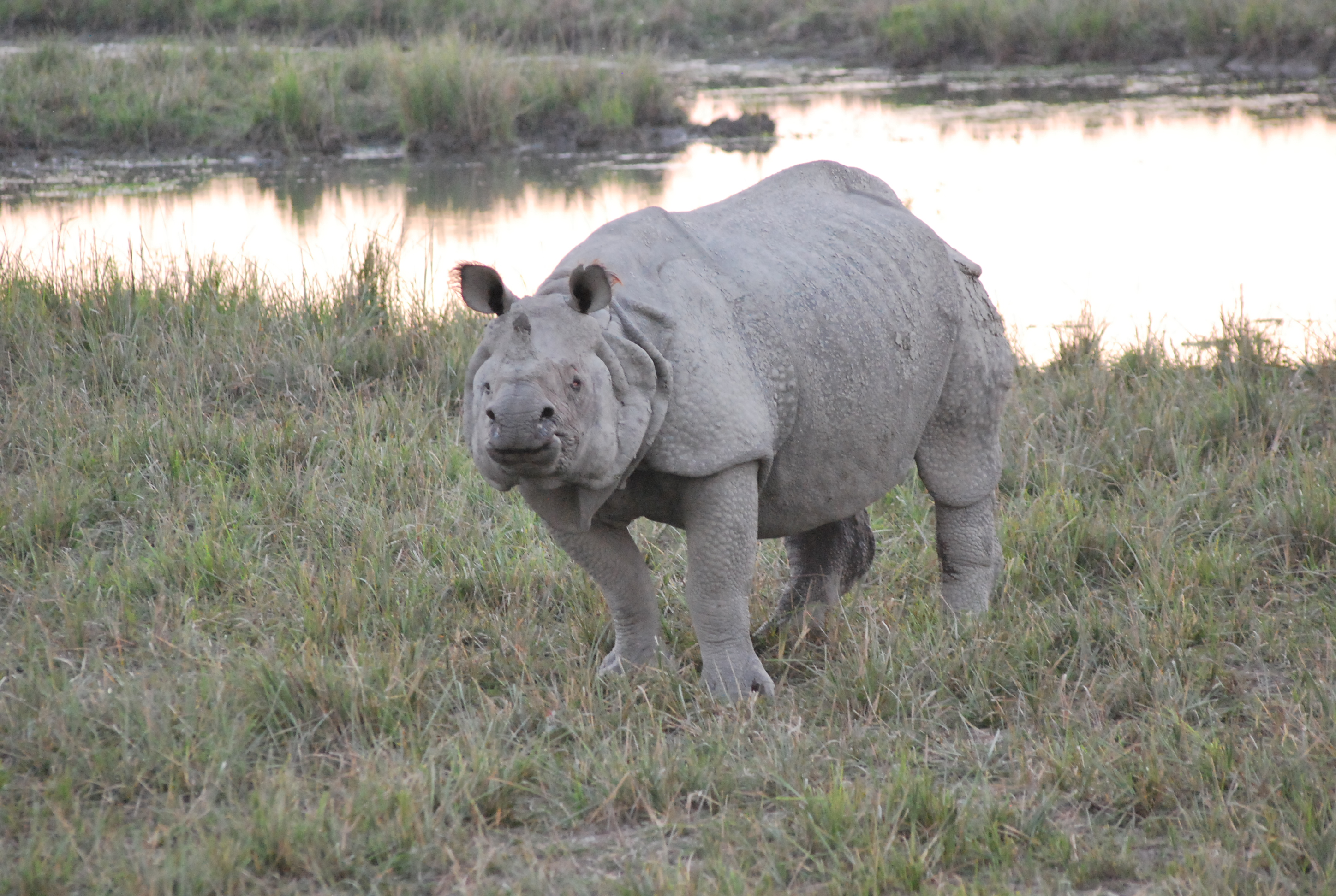 The greater one-horned rhinoceros or The Indian rhinoceros at Pobitora wildlife sanctuary