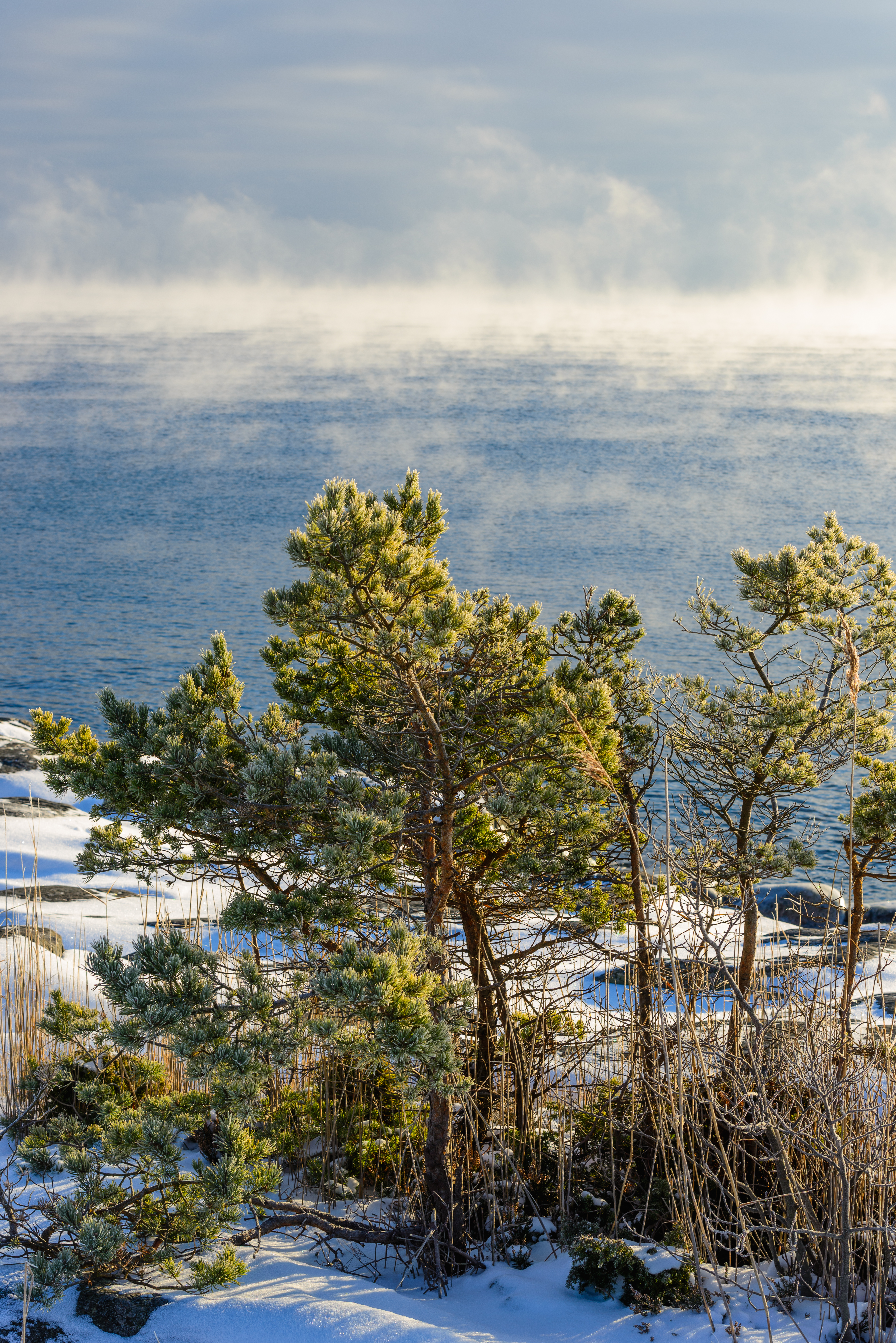 A snowy landscape with a Scots pine prominent
