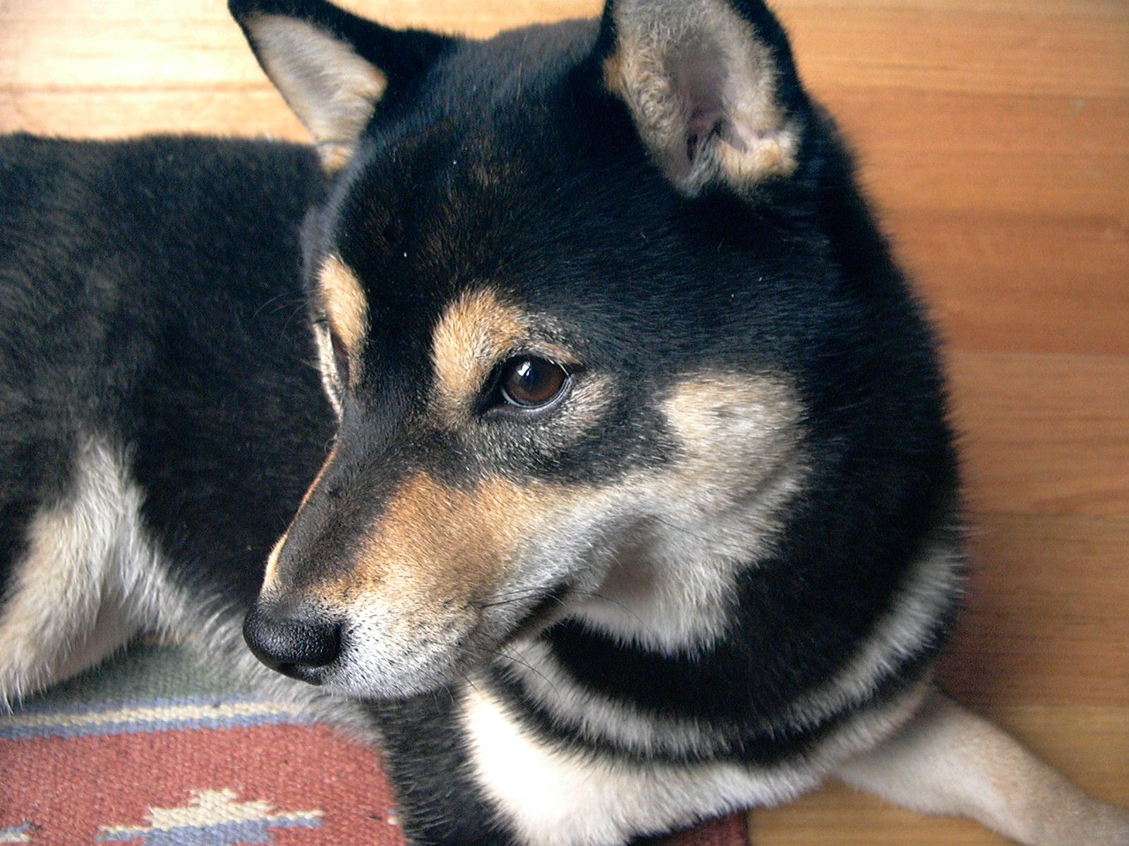 Rottweiler Dog Puppy Food