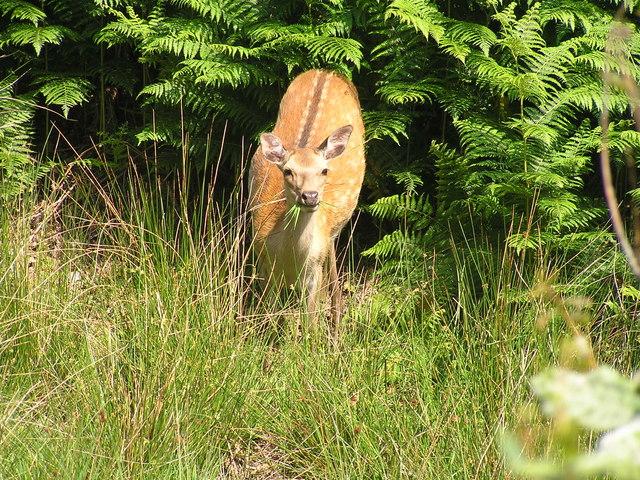 Sika Deer, Arne Nature Reserve - geograph.org.uk - 1021572