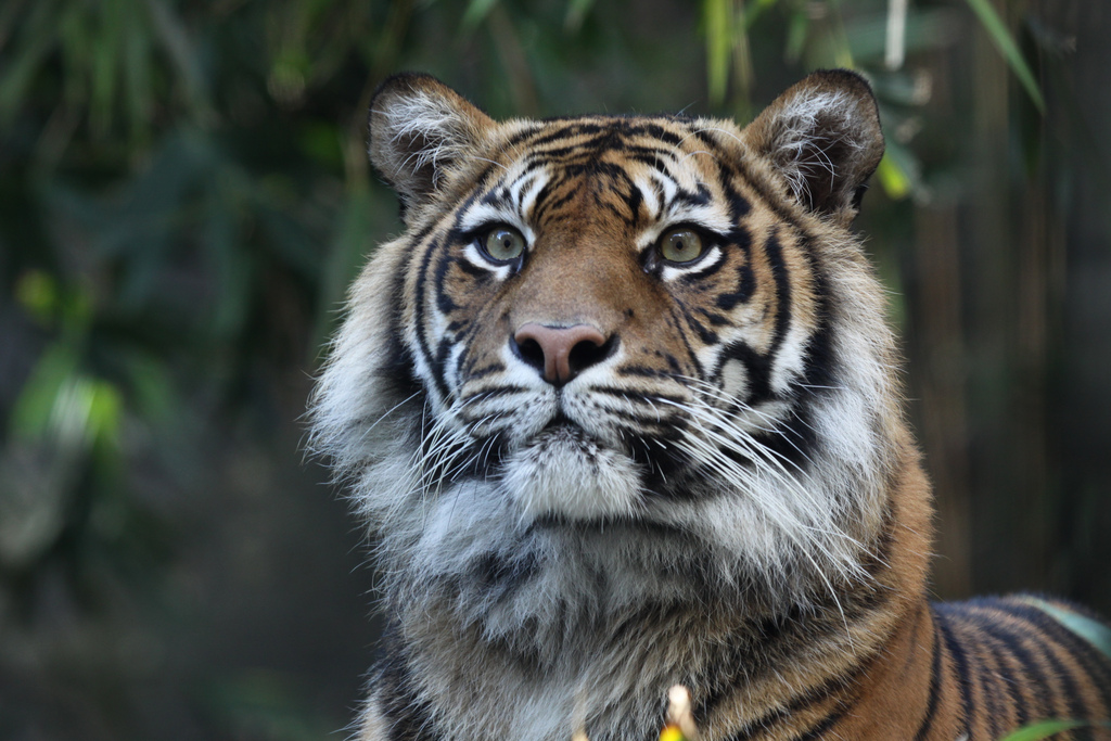 Sumatran Tiger at Taronga Zoo (6762974819).jpg