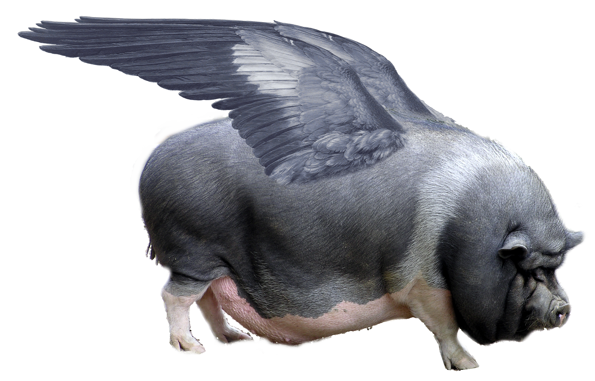 When Pigs Fly Wikipedia